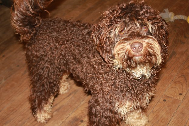 Canadoodle Vinnie – Click on Pics to Enlarge