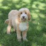 Female Goldendoodles for Sale