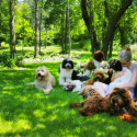 Labradoodles: The Ultimate Family Pet