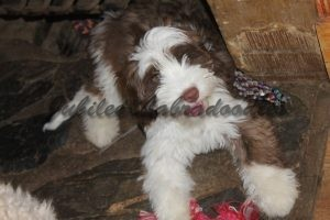 Labradoodle Puppy For Sale in Michigan