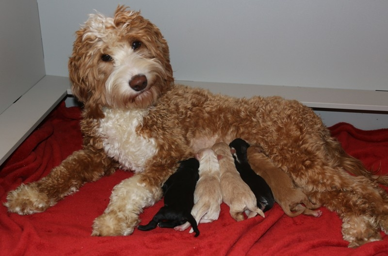 Jubilee Ellie McNellie Babies – Click on Litter Pic to See Puppies