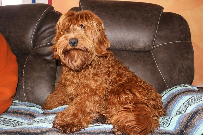 Australian Labradoodle Puppies For Sale In Mi Jubilee Labradoodles