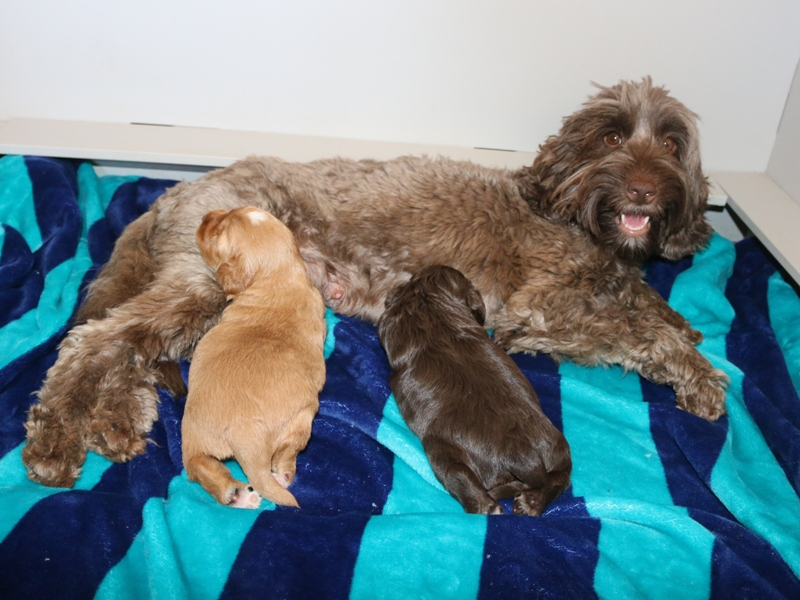 Peggy Sue & Boozer Babies – Click on Litter Pic to See Puppies