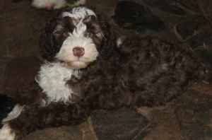 Tips for Housebreaking a New Labradoodle