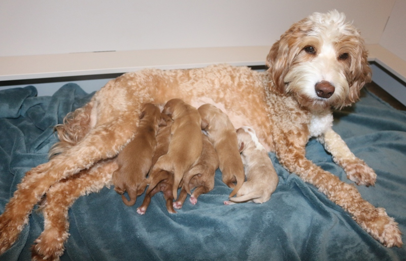 Jubilee Ellie McNellie & Babies – Click on Litter Pic to See Puppies