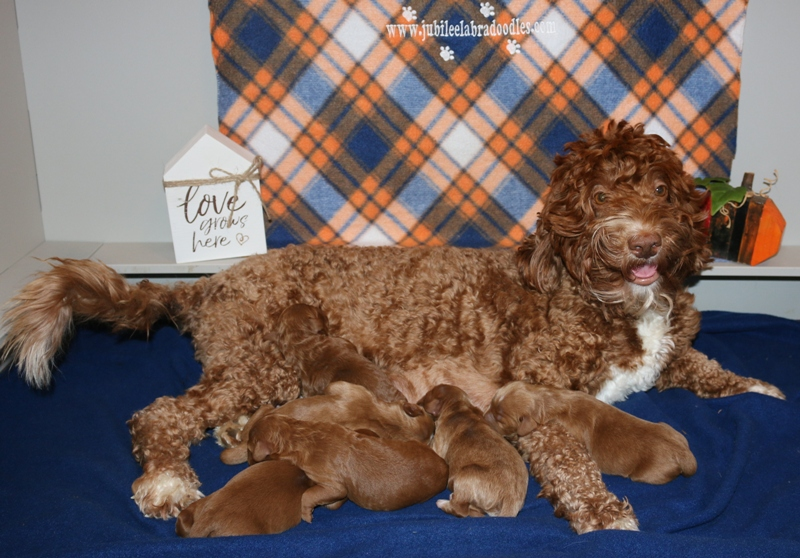 Dorry & Red Boys – Click on Litter Pic to See Puppies