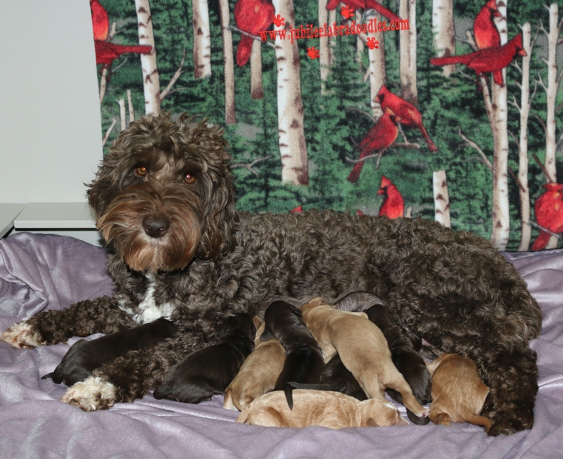 Lacie & Red Babies – Click on Litter Pic to See Puppies