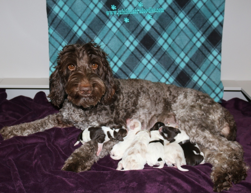 Belle & Riggs Babies – Click on Litter Pic to See Puppies