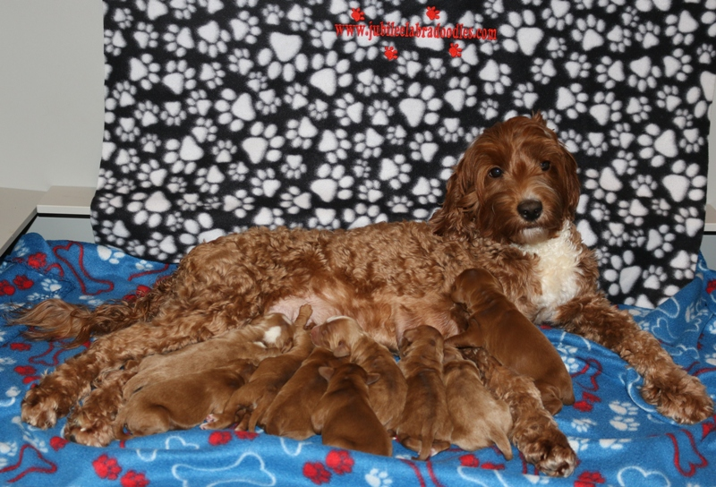 Adeline & Red Babies – Click on Litter Pic to See Puppies