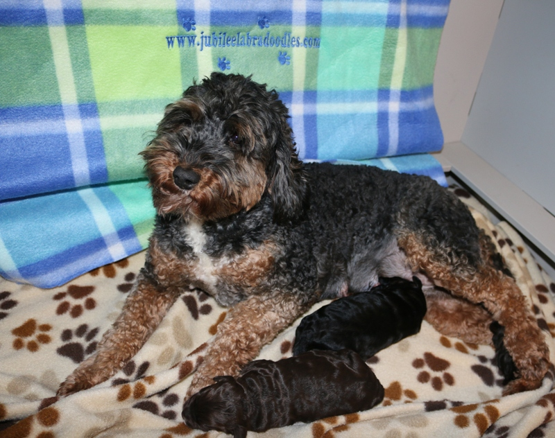 Luca & Riggs Babies – Click on Litter Pic to See Puppies