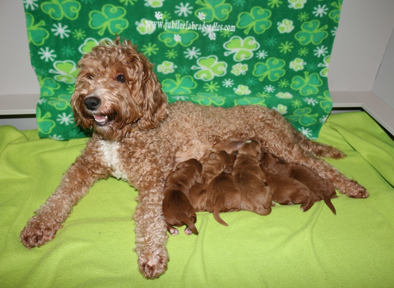 LuLu & Boozer Babies – Click on Litter Pic to See Puppies