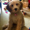 Caring for My Doodle: Heartworm Prevention