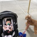 Introducing Your Labradoodle to Your Baby